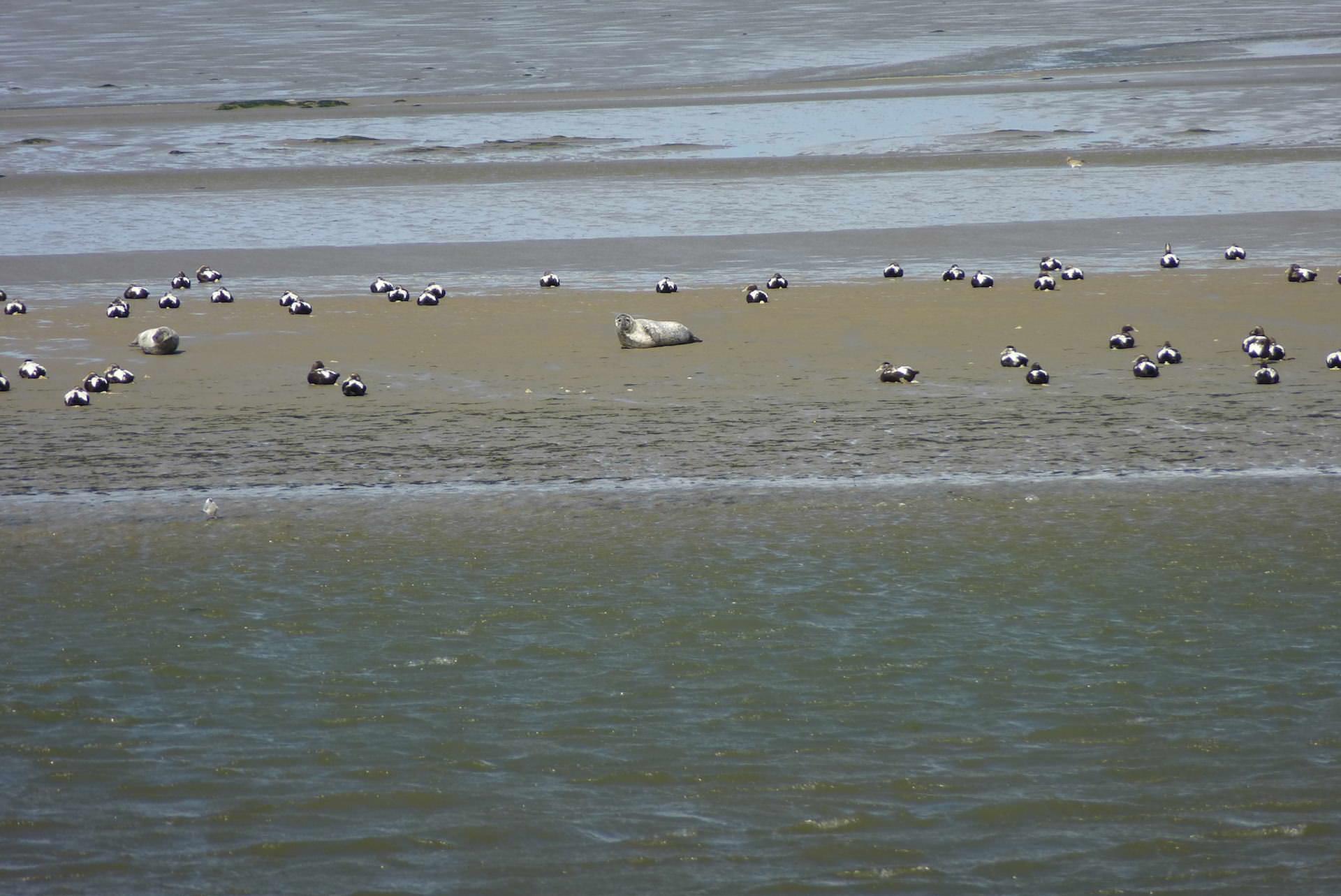 Sandbank mit Robben und Möwen an der Nordseeinsel Pellworm